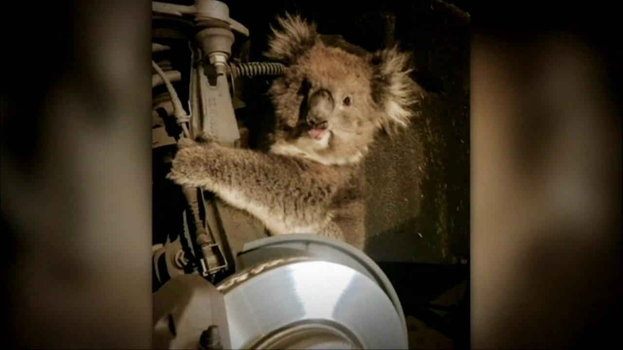 Koala rescued from cars wheel well
