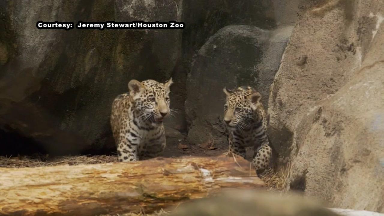 The Houston Zoo welcomes two baby Jaguars