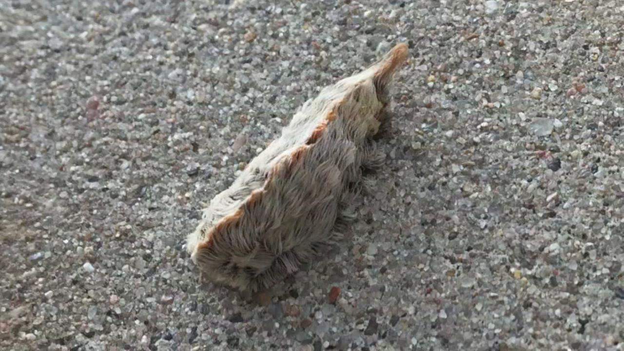 Venomous Asp Caterpillar popping up around Houston