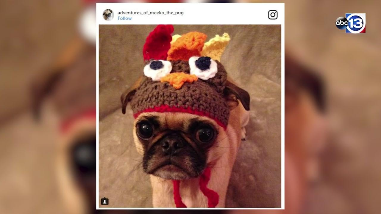 Pets trot out their best turkey costumes