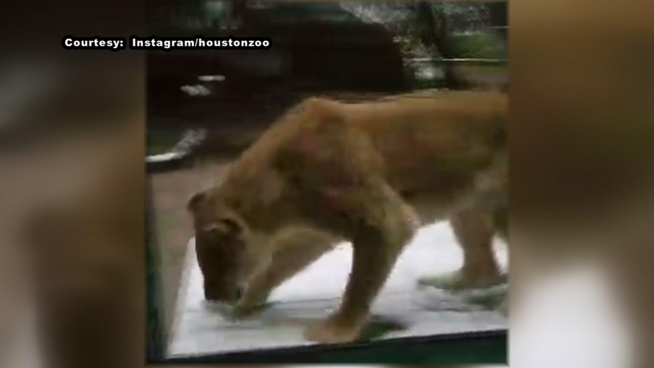 Houston Zoo lionesses play in the snow