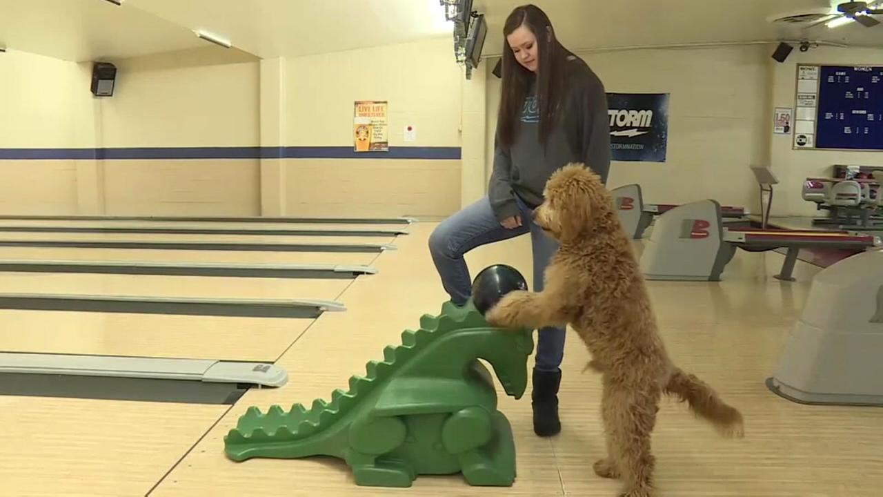 Dog goes bowling