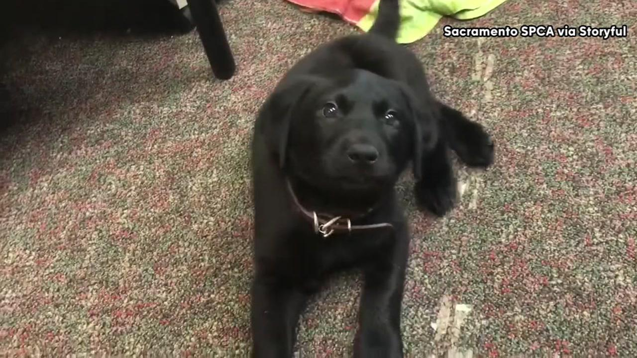 Puppy born with swimmer syndrome learns to walk