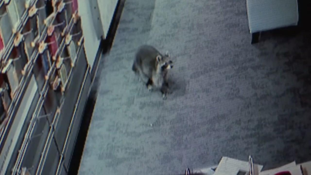Raccoon breaks into a cell phone store