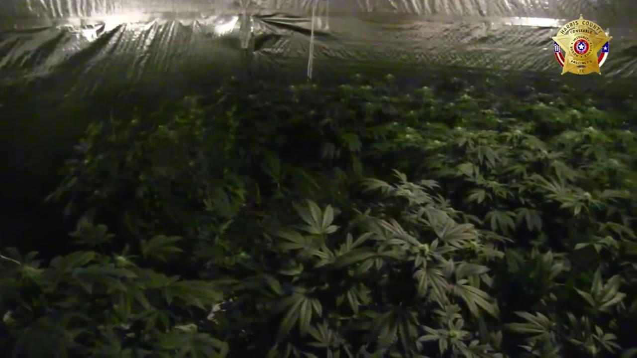 Precinct 5 Narcotics Unit Raids Marijuana Grow House in Cypress