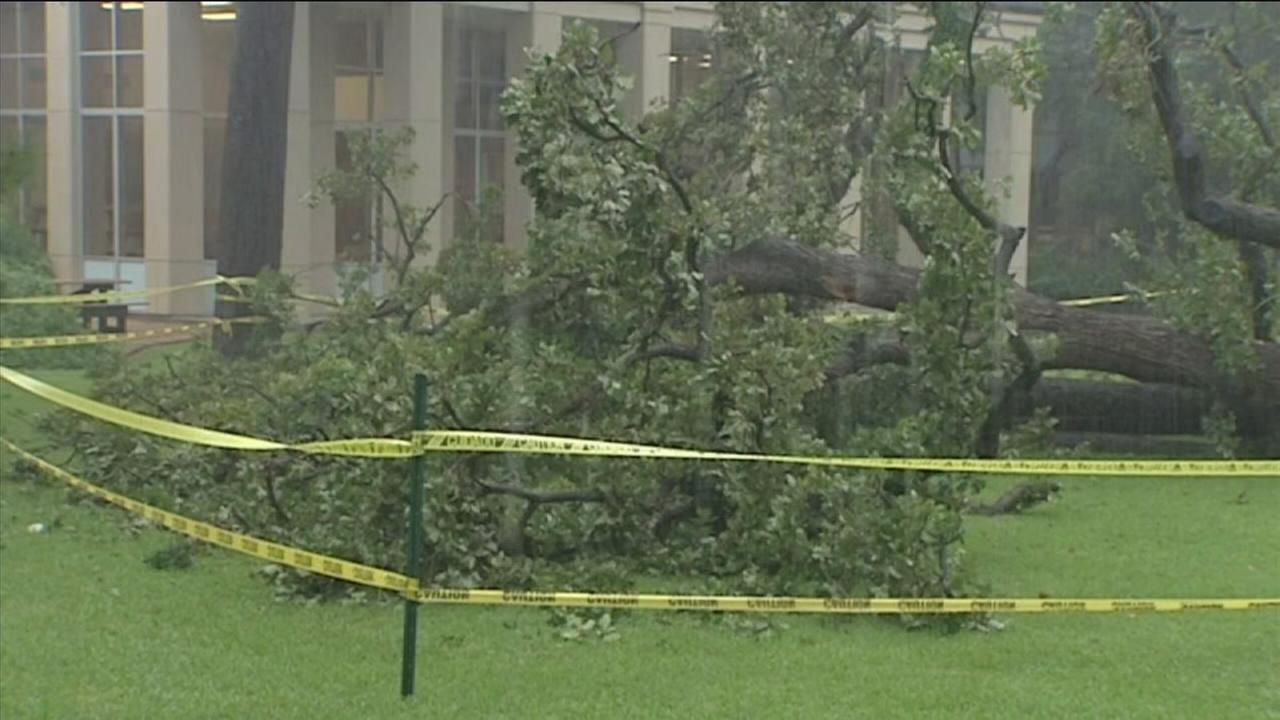 Heavy rains factor in toppling of old tree