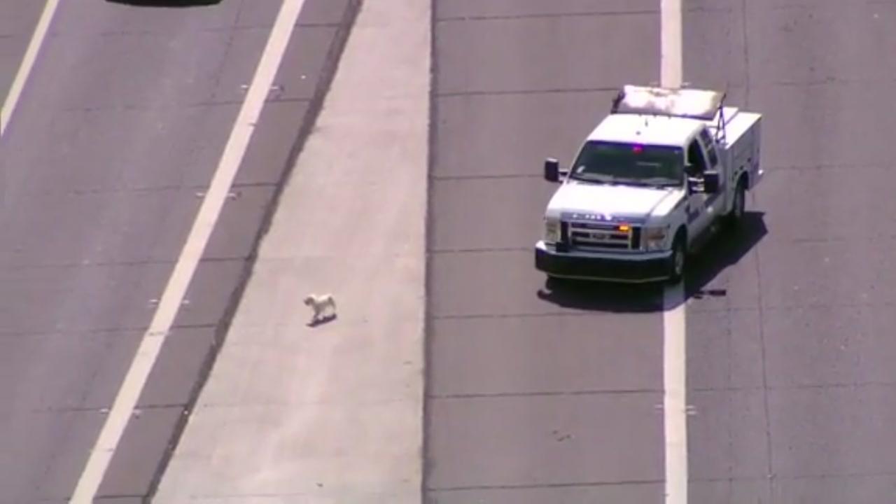 Dog chase backs up trafficc