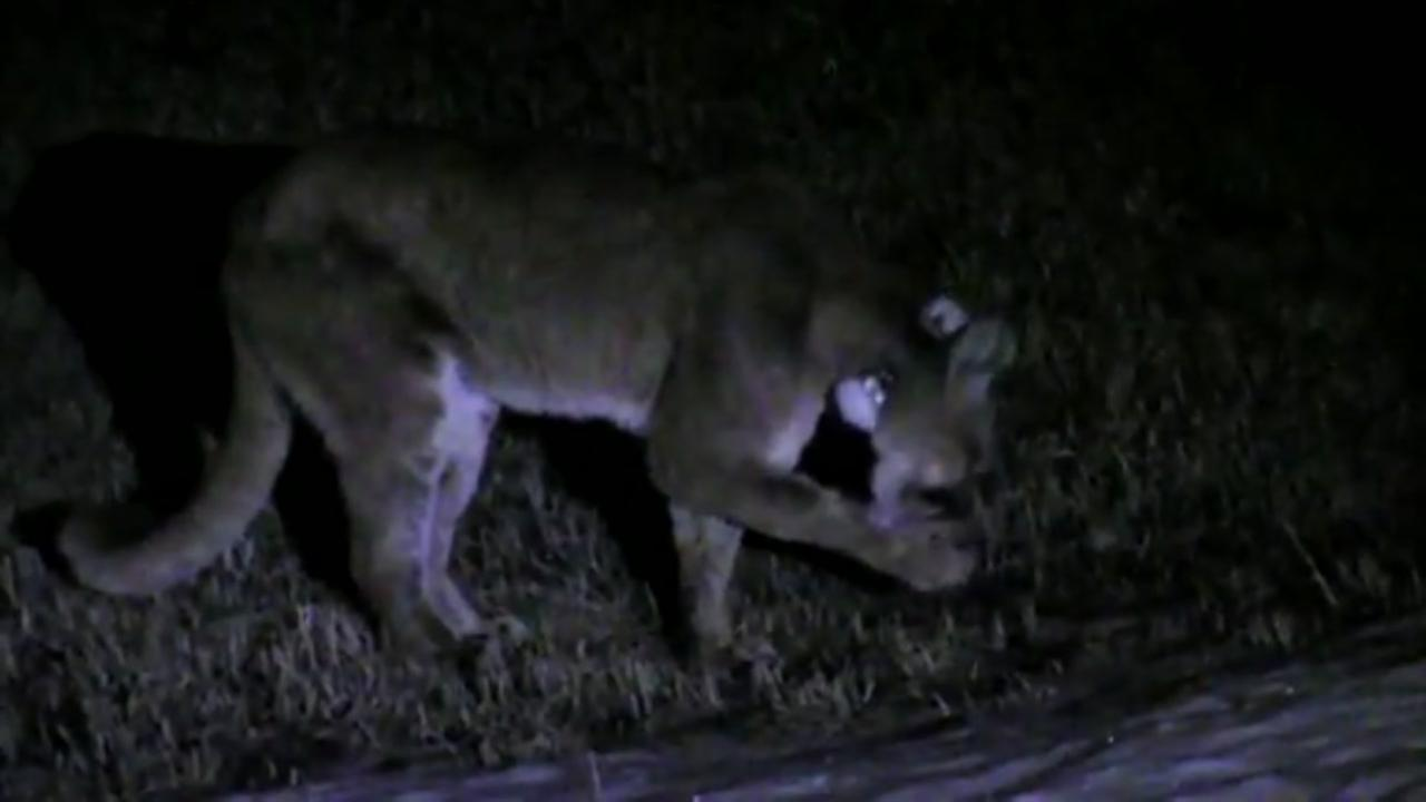 Caught on video: Family saves dog in mountain lion attack