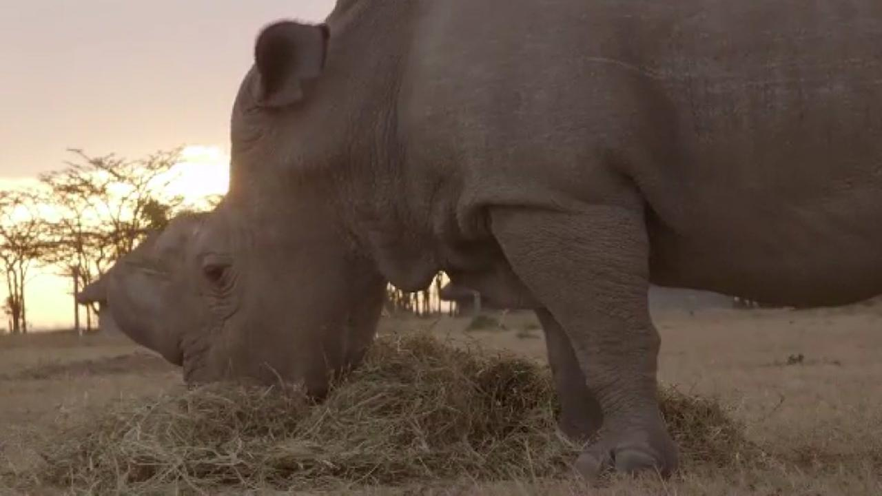 Worlds last male white rhino dies