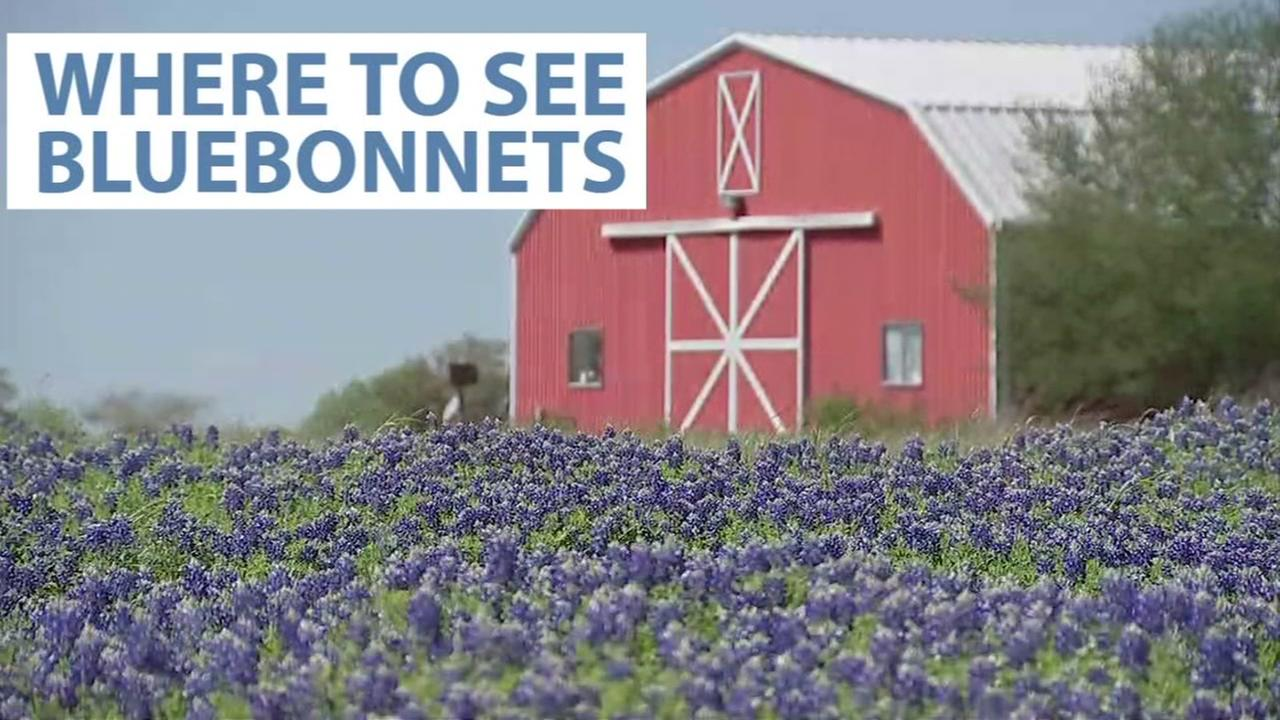 Bluebonnets bloom at different times, depending on what part of the state you live in