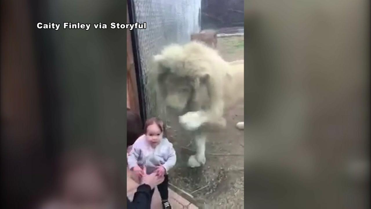 Lion walks up to girl
