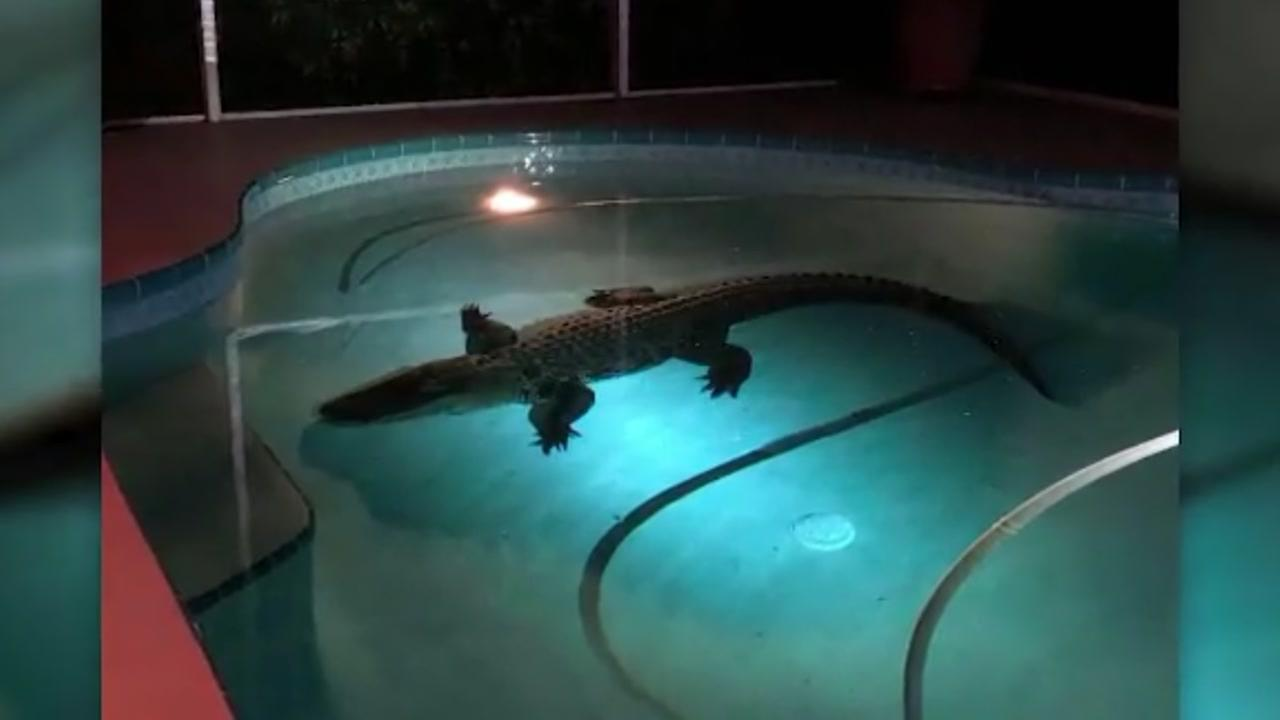 Sarasota County Sheriffs Deputies respond to call about an alligator in a swimming pool