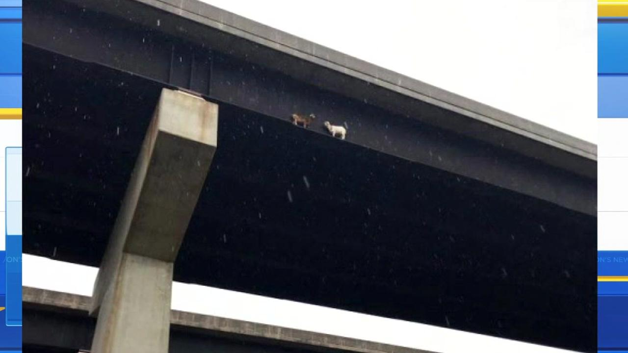 Goats on a Pennsylvania bridge