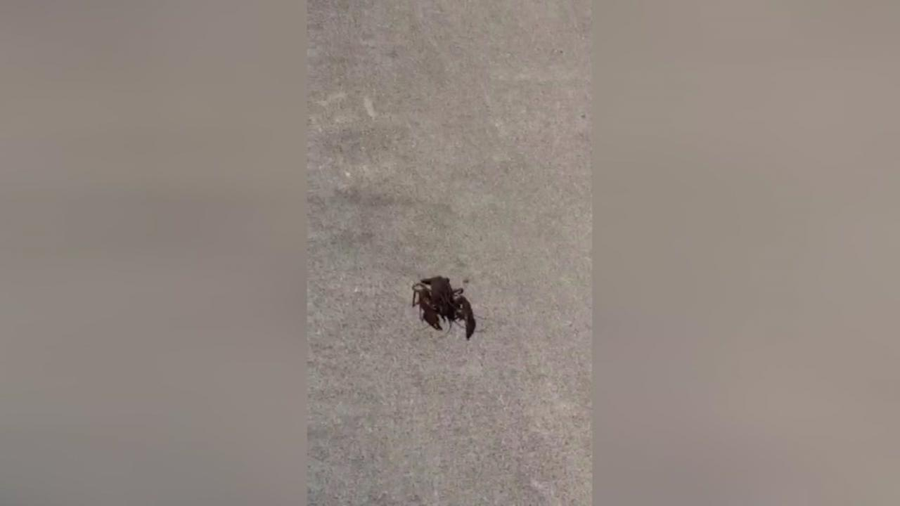 Crawfish try to escape in restaurant parking lot