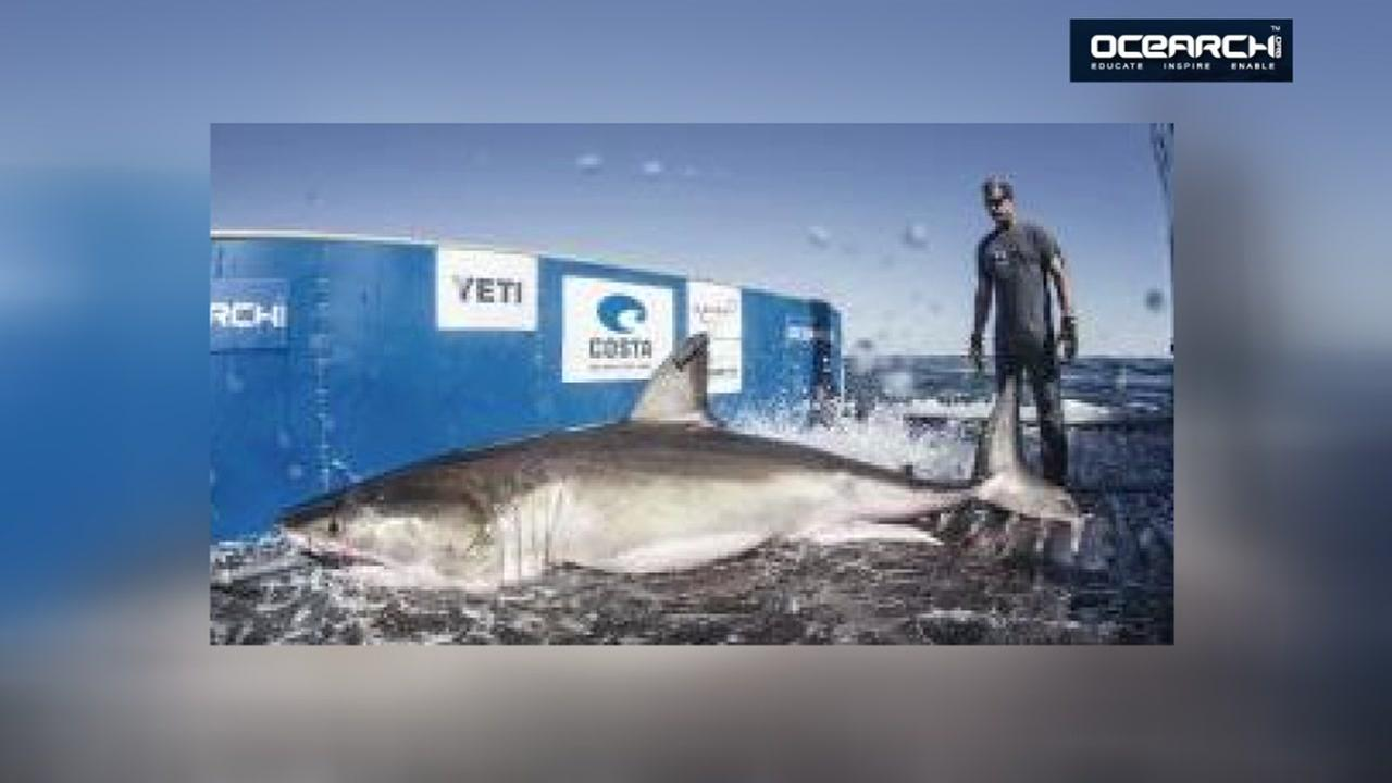 Great white shark could be headed to Texas