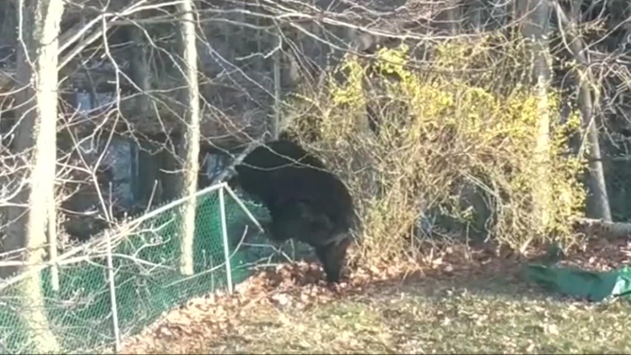 Bear breaks into SUV and devours cupcakes