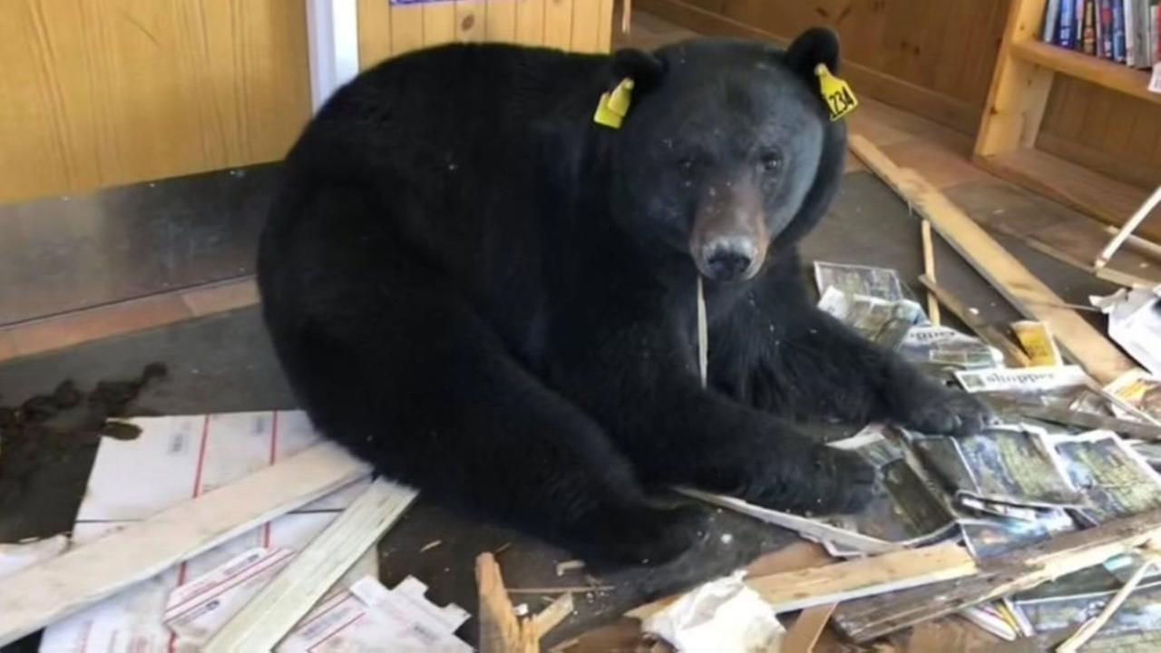 Bear facts about the U.S. Mail in one city