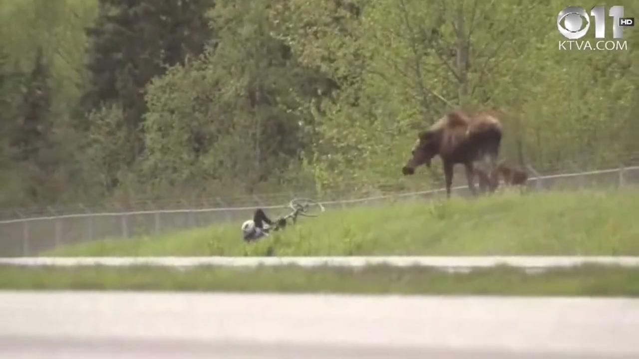 Its moose vs. cyclist in Alaska