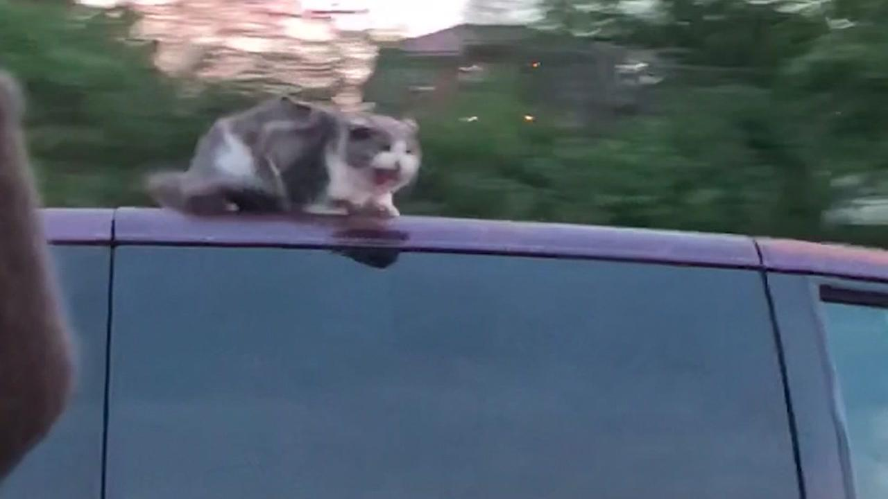 Cat clinging to top of speeding van