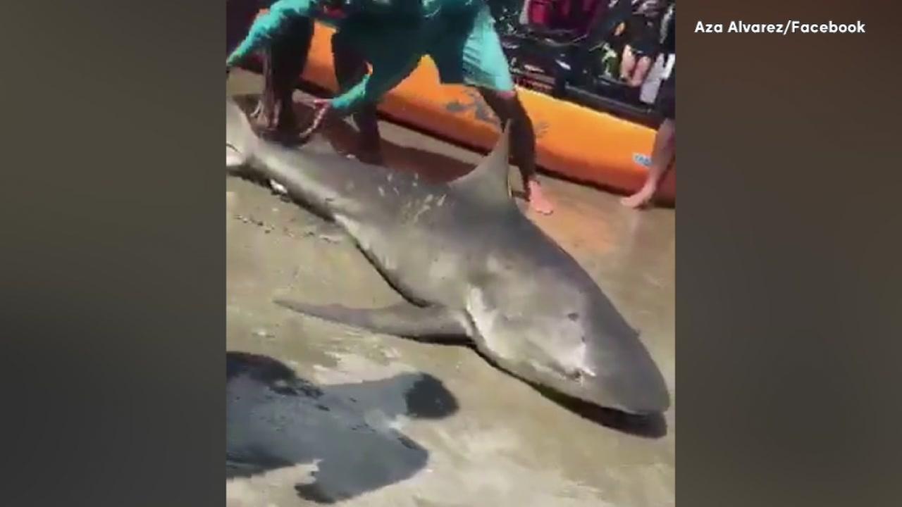 Fisherman hauls in shark near Jamaica Beach