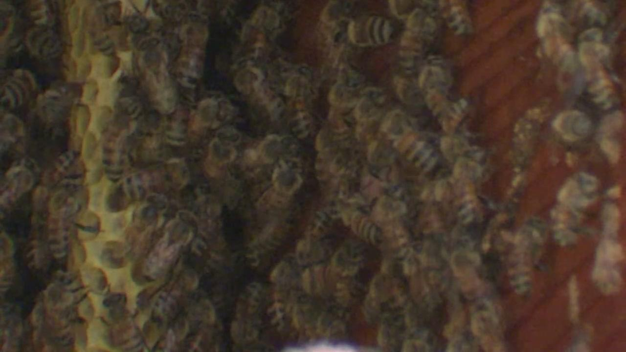 Woman finally rids herself of bees living in her walls