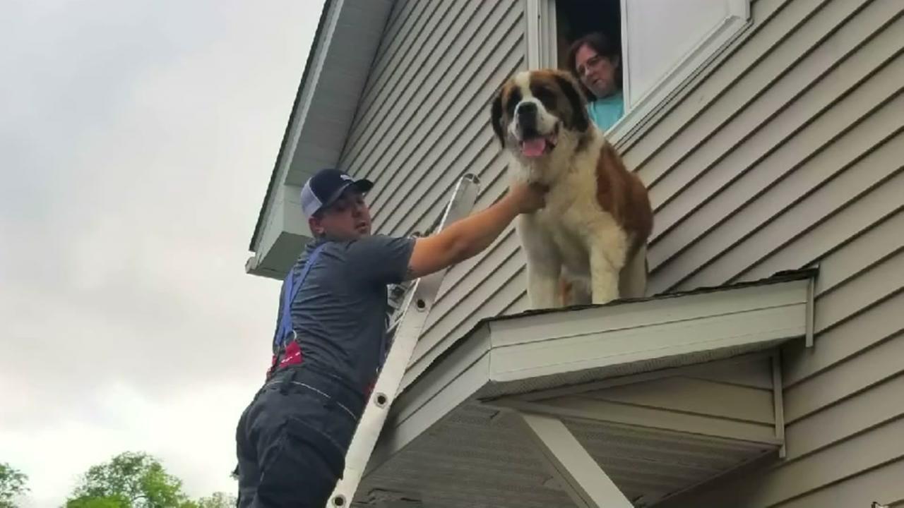 Huge Saint Bernard rescued from roof
