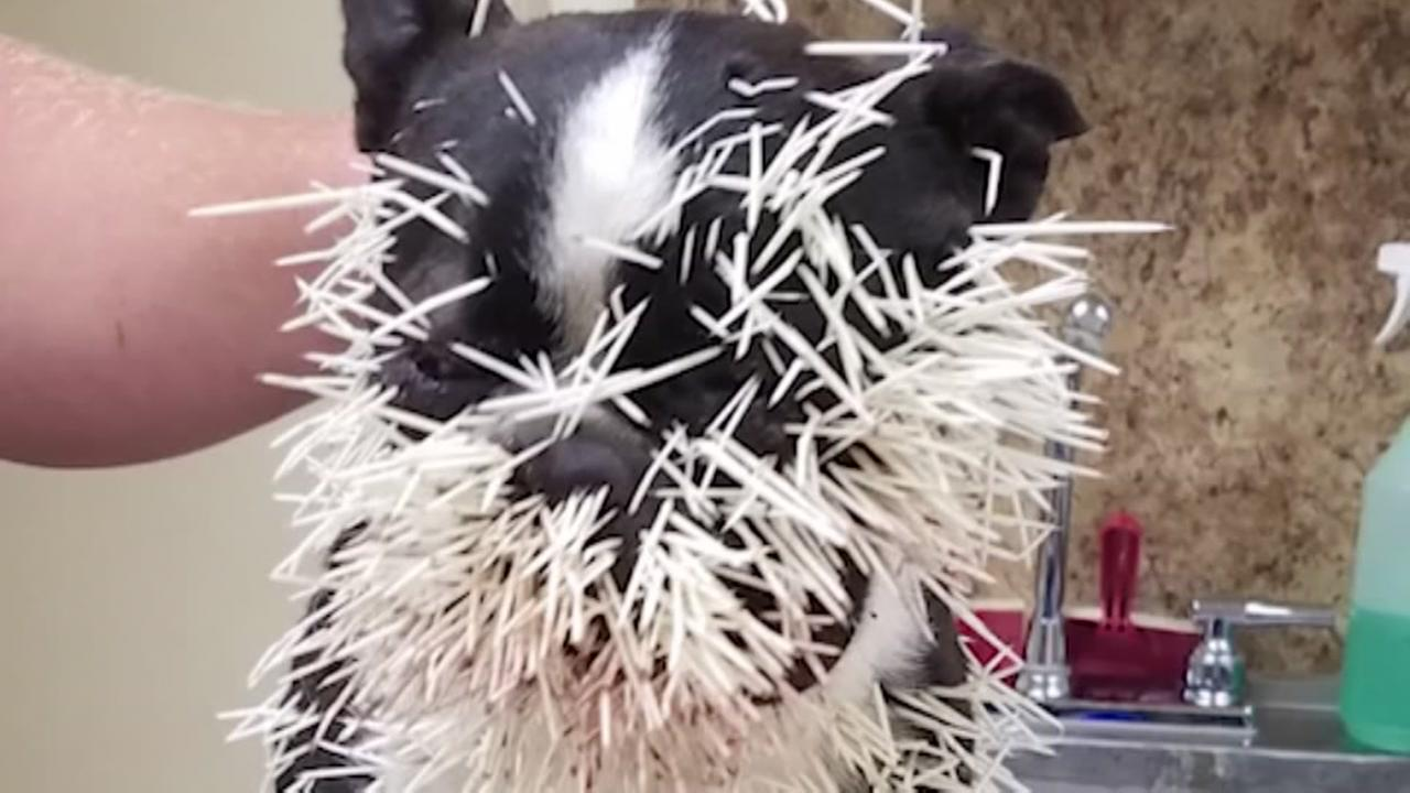 Dogs attacked by porcupine
