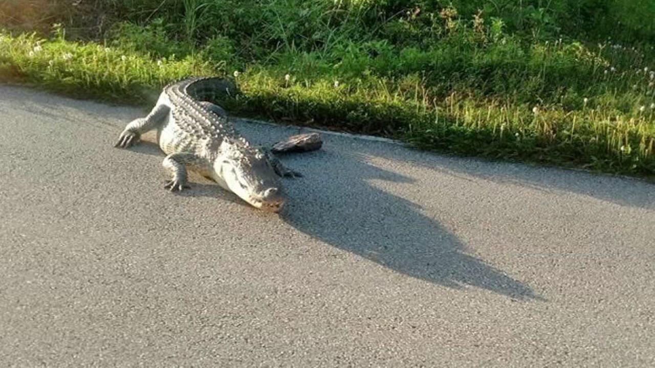 Alligator in Sienna Plantation
