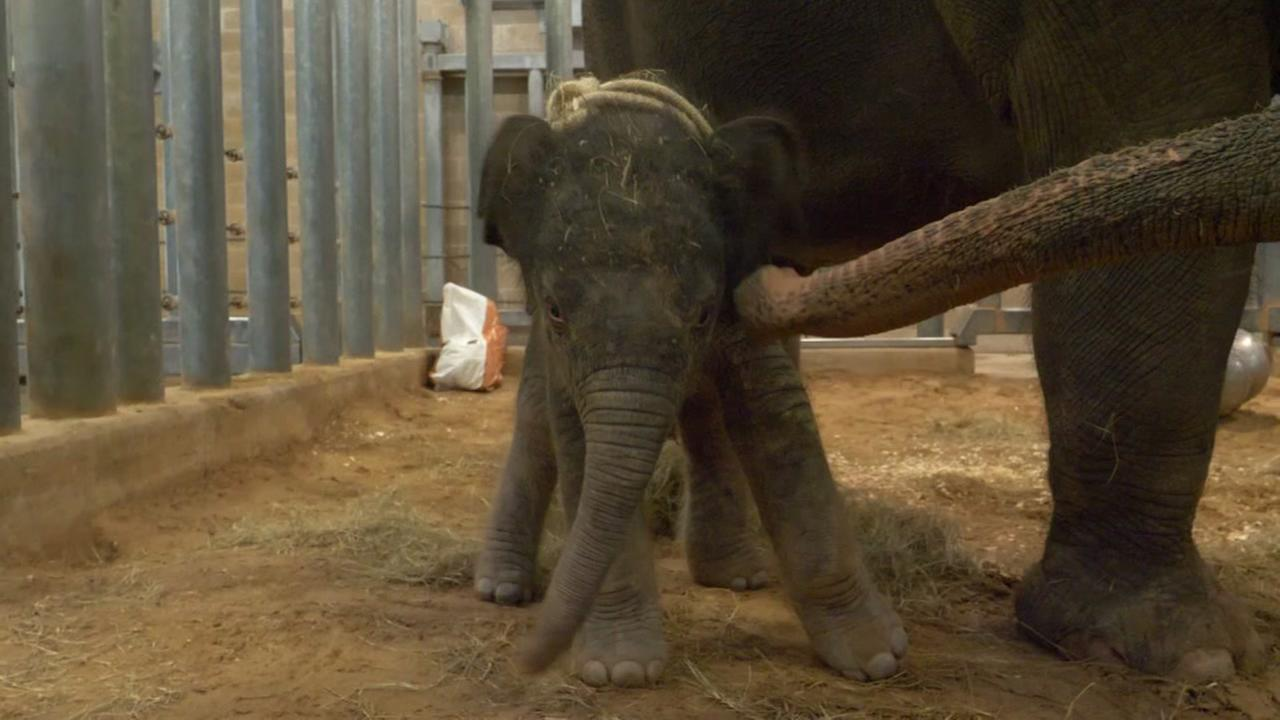New elephant at Houston Zoo