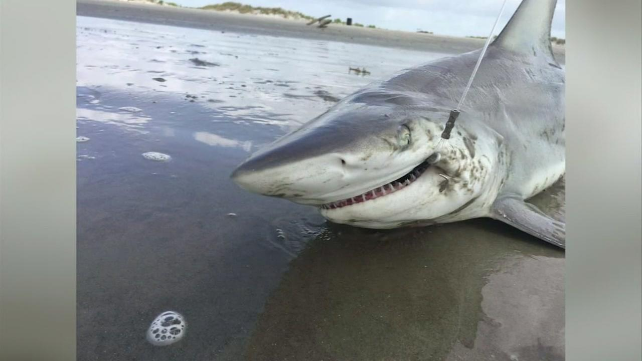 Shark caught