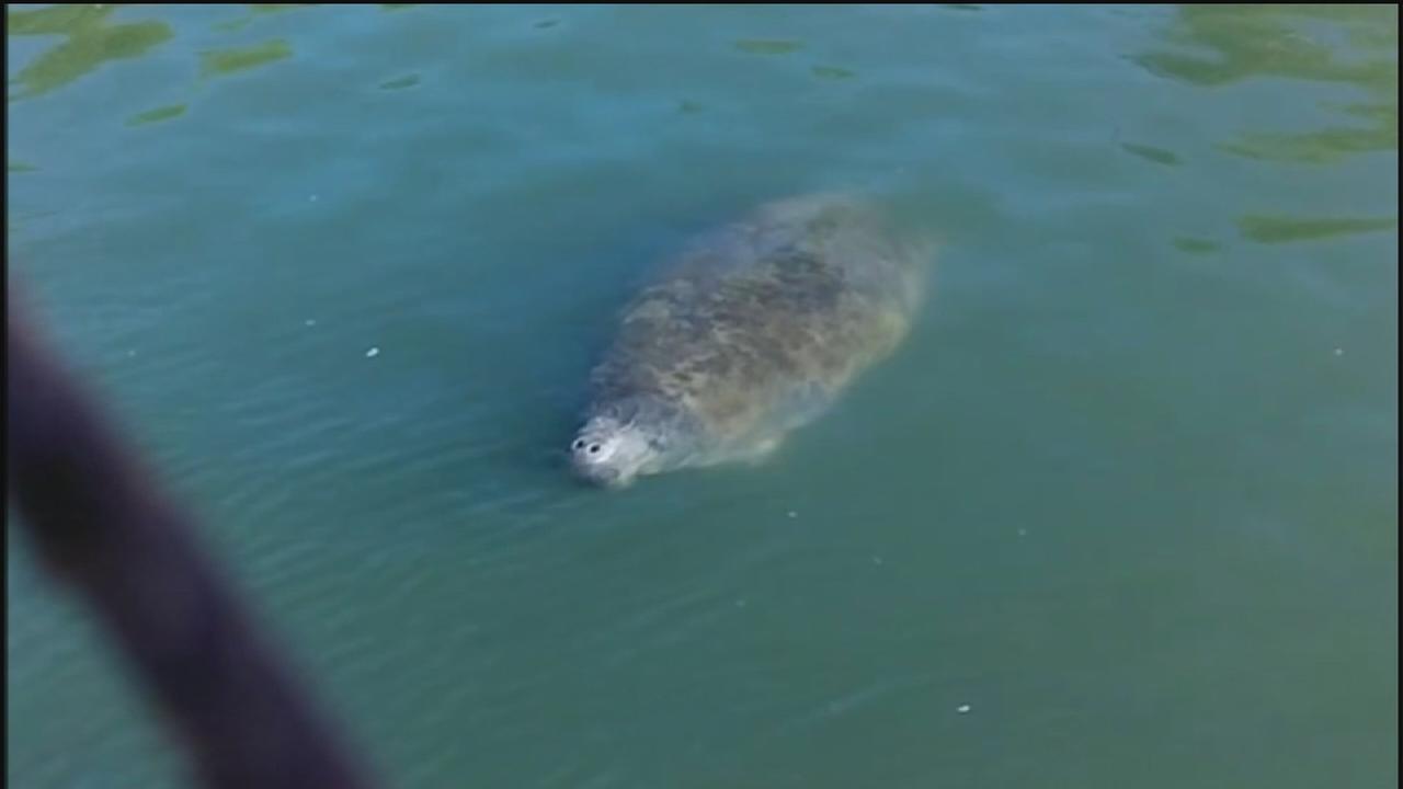 Rare manatee sighting in Trinity Bay