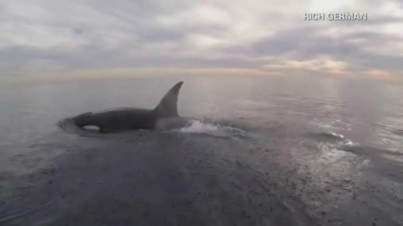 Paddle boarders close encounter with orcas