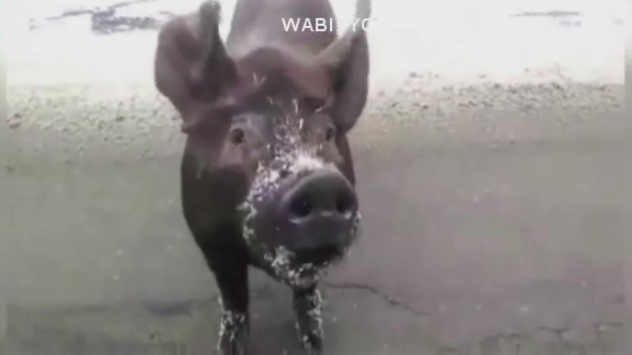 Cookie loving pig