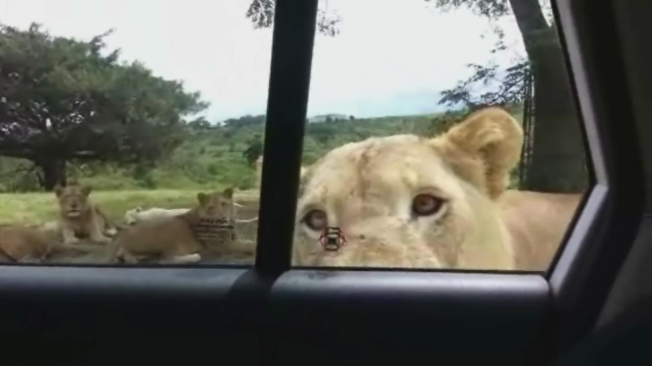 Lioness opens car door