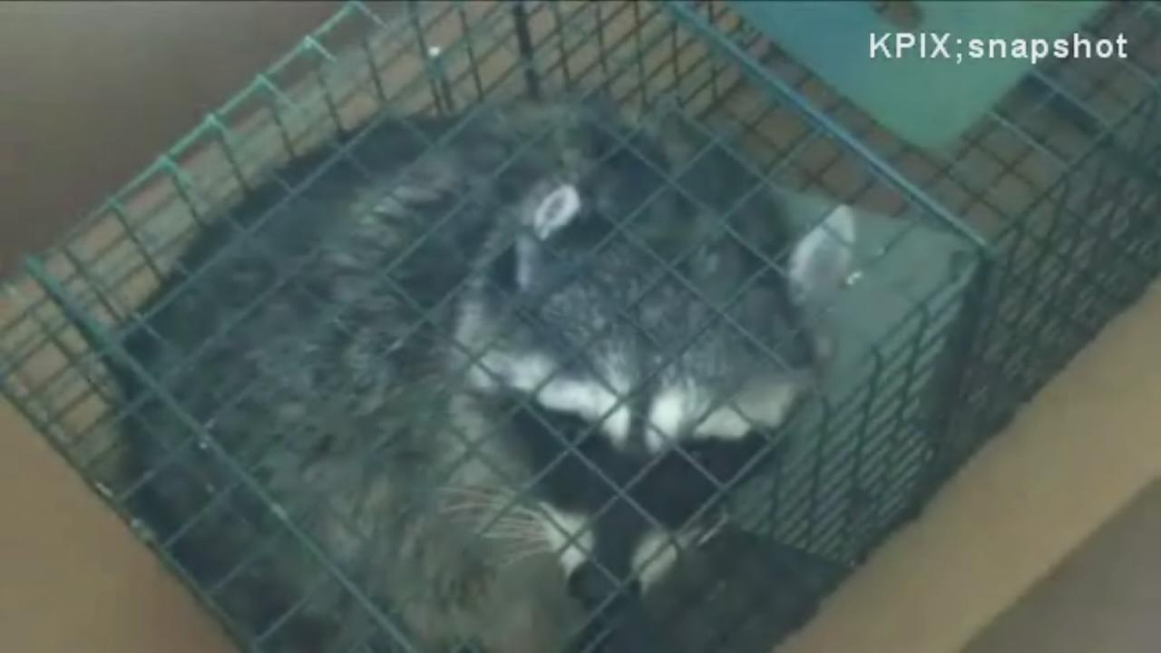 Man loses job for freeing raccoon