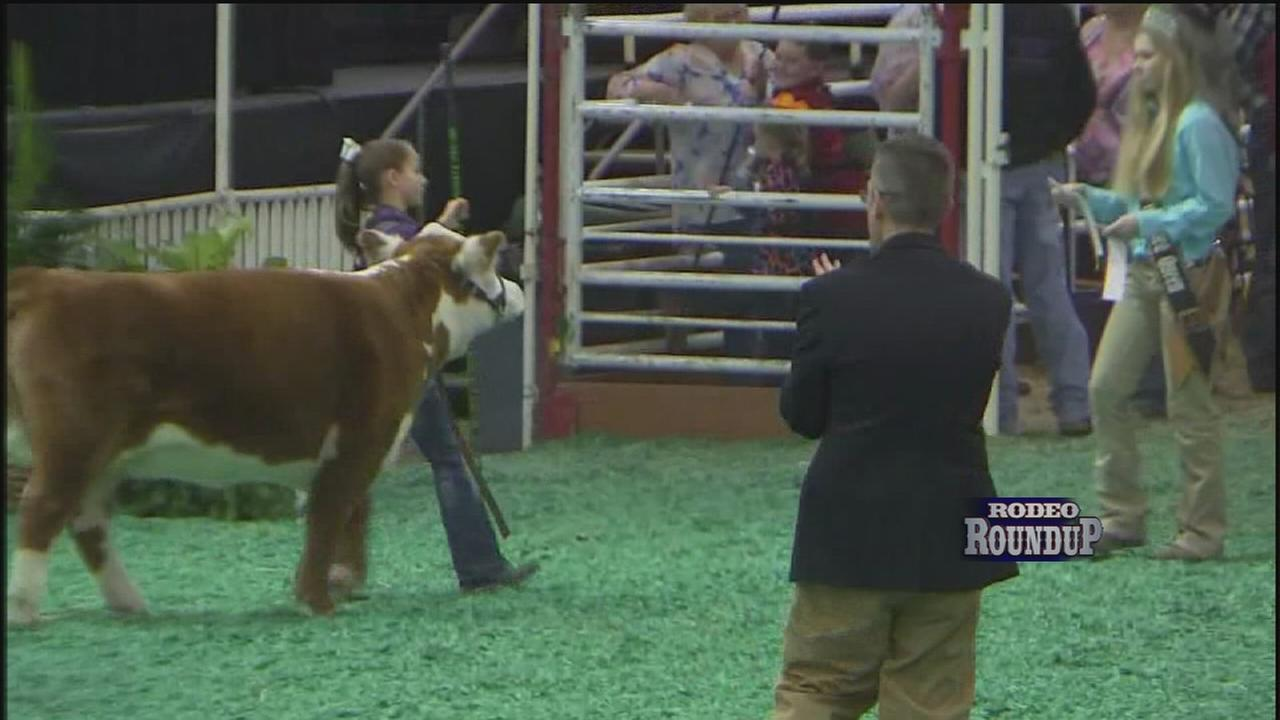 Miniature cattle show at Houston Rodeo