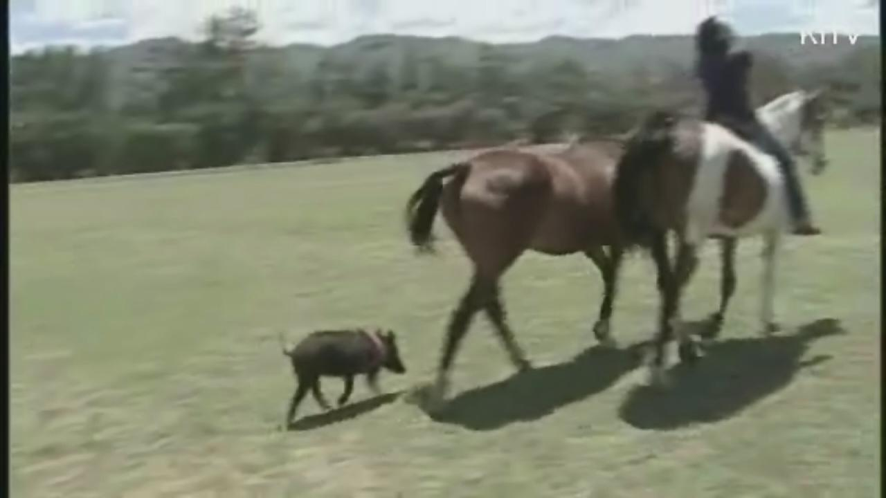 Feral pig thinks shes a horse