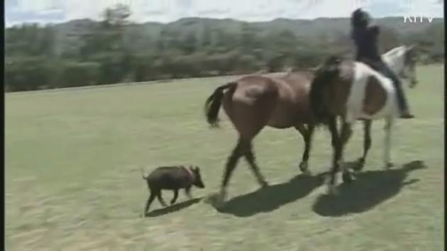 Feral pig thinks she's a horse