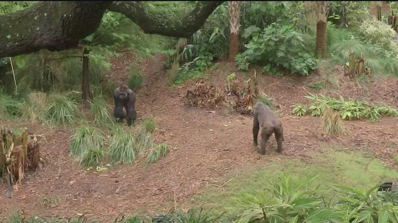 Gorillas get a home at the Houston Zoo