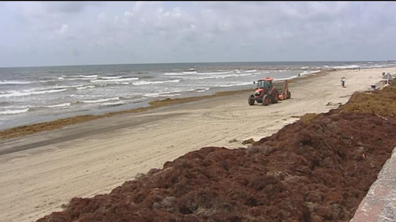 Seaweed takes over the beaches of Galveston