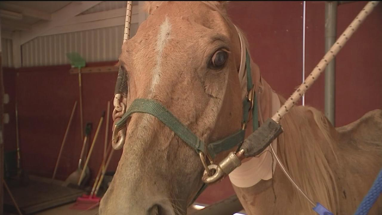 Road to recovery long for rescued horses