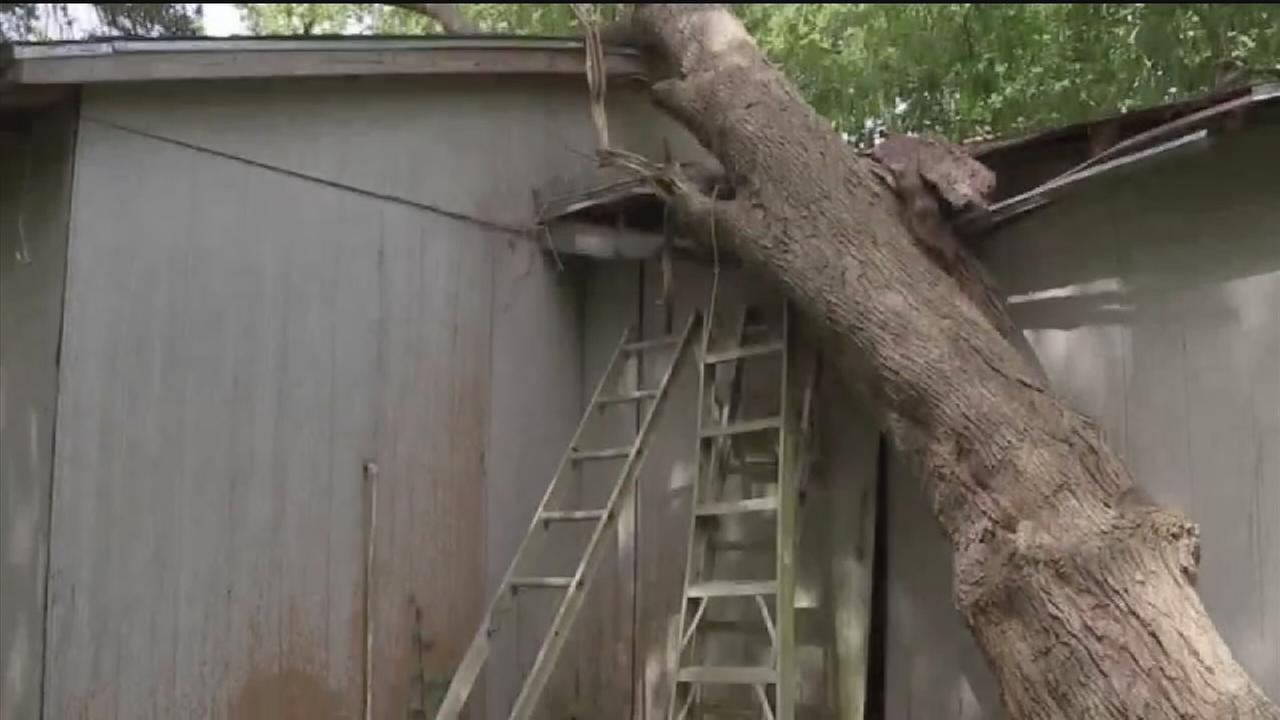 Bee infestation makes fallen tree a big problem
