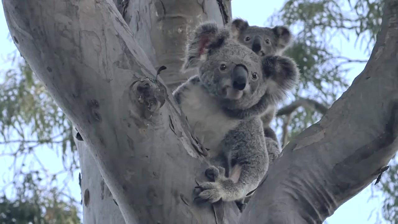 071515-ktrk-koalas-released-vid