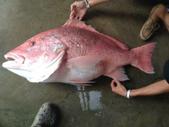 Joey Beaver of Victoria, Texas caught a record-breaking 39-pound, 40 inch long red snapper in the Gulf of Mexico on June 1, 2014.  (Courtesy Joey Beaver)