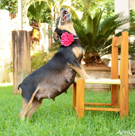 <div class='meta'><div class='origin-logo' data-origin='none'></div><span class='caption-text' data-credit='Ana Paula Grillo/Anna Fotografia'>Meet Lilica, a flawless dog who slays her maternity photo shoot</span></div>