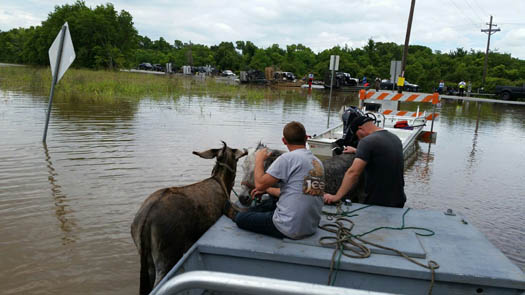 <div class='meta'><div class='origin-logo' data-origin='none'></div><span class='caption-text' data-credit='Sydney F.'>Llamas, donkeys and mini horses in Holiday Lakes were taken to higher ground Sunday, June 6.</span></div>