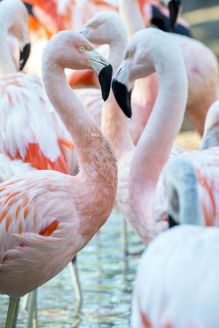 """<div class=""""meta image-caption""""><div class=""""origin-logo origin-image none""""><span>none</span></div><span class=""""caption-text"""">Flamingos (Stephanie Adams/Houston Zoo)</span></div>"""