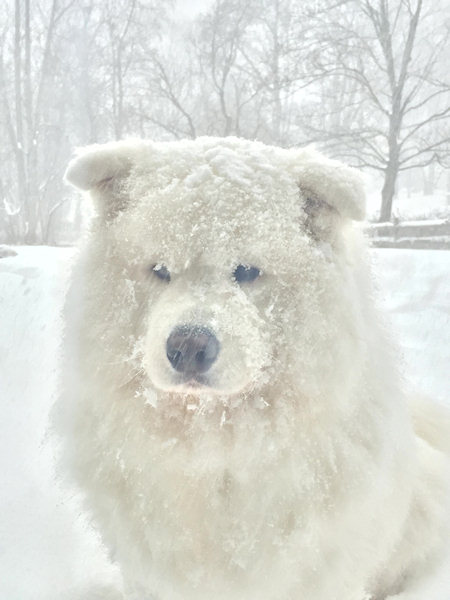 "<div class=""meta image-caption""><div class=""origin-logo origin-image wabc""><span>WABC</span></div><span class=""caption-text"">Bear, my Samoyed was looking into my slider wondering why his brother Blu and I were not outside with him playing . This is for Maximus and the gang I enjoy watching in the morning (Theresa Chrobok)</span></div>"