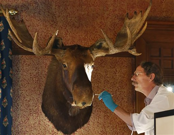 "<div class=""meta image-caption""><div class=""origin-logo origin-image ap""><span>AP</span></div><span class=""caption-text"">Conservator Ronald Harvey of Lincolnville, Me., works on a moose head shot by President Theodore Roosevelt, an avid hunter, in his formal dining room at Sagamore Hill (AP Photo/Kathy Willens)</span></div>"