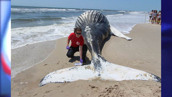 """<div class=""""meta image-caption""""><div class=""""origin-logo origin-image none""""><span>none</span></div><span class=""""caption-text"""">Calls came in from members of the public around 8:30 p.m. Monday to the Riverhead Foundation for Marine Research and Preservation to report the dead humpback whale. (The Riverhead Foundation)</span></div>"""